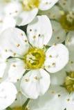 Blühende weiße Blumen Stockfotografie