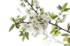 Blühende weiße Blumen lizenzfreie stockbilder