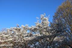 Blühende blühende weiße Blumen in Sunny Day With Clear Blue-Himmel stockfotografie