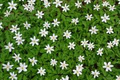 Blühende weiße Buschwindröschen Stockbild