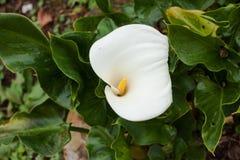 Blühende weiße Cala-Lilie mit grünen Blättern lizenzfreie stockfotografie