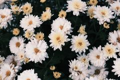 Blühende weiße Chrysanthemen Stockbilder