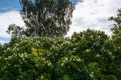 Blühende weiße Flieder Stockfoto
