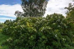 Blühende weiße Flieder Stockfotografie