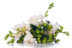 Blühende weiße Freesie Lizenzfreie Stockfotos