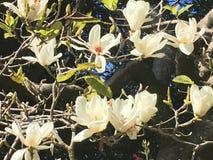 Blühende weiße Magnolien lizenzfreie stockbilder