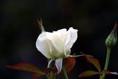 Blühende weiße Rose stockfoto