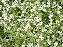 Blühende weiße Sternblumen Stockfotografie