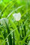 Blühende weiße Tulpe Lizenzfreie Stockfotografie