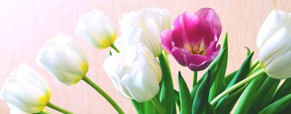Blühende weiße Tulpen und eine Blume rote Farbe Lizenzfreie Stockfotografie
