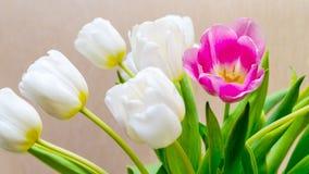 Blühende weiße Tulpen und eine Blume rote Farbe Stockfotos