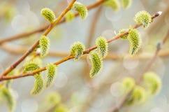 Blühende Weide Lizenzfreie Stockbilder