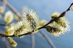 Blühende Weide Lizenzfreies Stockbild