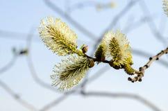 Blühende Weide des Zweigs Stockbild