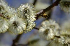 Blühende Weide Blühende Pussyweidenniederlassung auf natürlichem Blau verwischte Hintergrundnahaufnahme Stockfotos