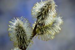 Blühende Weide Blühende Pussyweidenniederlassung auf natürlichem Blau verwischte Hintergrundnahaufnahme Stockfotografie