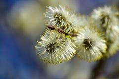 Blühende Weide Blühende Pussyweidenniederlassung auf natürlichem Blau verwischte Hintergrundnahaufnahme Lizenzfreie Stockfotografie