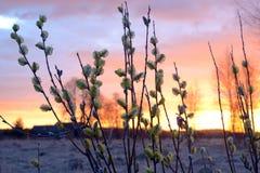 Blühende Weidenniederlassungen Stockfoto