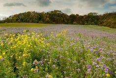 Blühende Wiese im Herbst mit vielem Phacelia Lizenzfreies Stockfoto