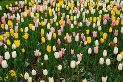 Blühende Wiese von gelben, weißen und rosa Tulpen Stockfotos