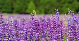 Blühende Wiesen auf einem warmen Sommermorgen Schöner heller purpurroter Hintergrund stock video