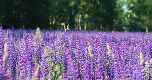 Blühende Wiesen auf einem warmen Sommermorgen Schöner heller purpurroter Hintergrund stock video footage