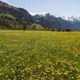 Blühende Wiesen in der Schweiz Stockbilder