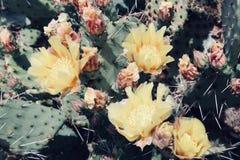Blühende wilde Blume der schönen gelben Kaktuswüste stockbilder