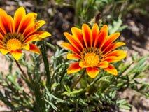 Blühende wilde Gazania-Blume am Laguna-Küsten-Wildnis-Park, Laguna-Hügel, Kalifornien Stockfoto