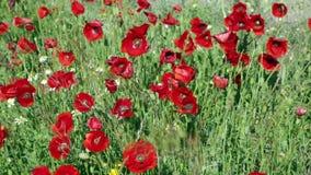 Blühende wilde rote Mohnblumen stock video footage