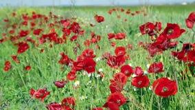 Blühende wilde rote Mohnblumen stock video