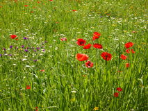 Blühende Wildflowerwiese Stockfotos