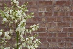 Blühende Yucca-Anlage gegen raue Backsteinmauer Lizenzfreie Stockfotografie