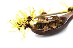 Blühende Zaubernuss (Hamamelis) und getrocknete Blätter für natürliches c Stockfoto