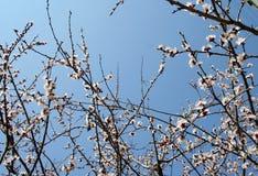 Blühende Zweige Lizenzfreie Stockbilder