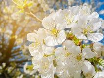 Blühende Zweige Lizenzfreie Stockfotos
