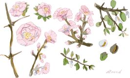 Blühende Zweige und Nüsse der Mandelvektorillustration bunt vektor abbildung