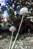 Blühende Zwiebel im Garten während des Sommertages Stockfoto