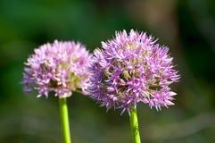 Blühende Zwiebel (Lauch aflatunense) Stockfotografie
