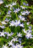 Blühenden Luciles Ruhm-von-d-Schnee Lizenzfreies Stockfoto