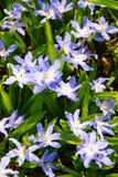 Blühenden Luciles Ruhm-von-d-Schnee Lizenzfreies Stockbild