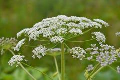 Blühenden Sosnowskys hogweed lizenzfreie stockfotografie