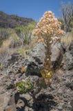 Blühender Aeonium draußen Lizenzfreies Stockbild