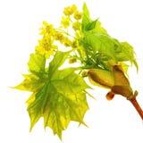 Blühender Ahorn Stockfoto