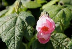 Blühender Ahorn, Abutilon hybridum Lizenzfreies Stockfoto