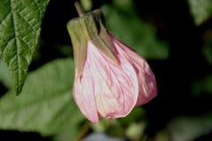 Blühender Ahorn, Abutilon hybridum Stockbild