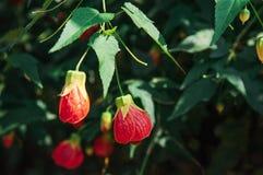 Blühender Ahorn, indische Malve oder Abutilon-chinesische Bell-Blume, Lizenzfreie Stockfotos