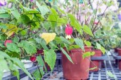 Blühender Ahorn (schleppender Abutilon) (brasilianische Bell-Blume) Lizenzfreies Stockbild