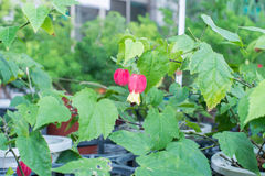 Blühender Ahorn (schleppender Abutilon) (brasilianische Bell-Blume) Lizenzfreie Stockfotografie