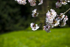 Blühender Akzent des Frühlinges lizenzfreies stockfoto